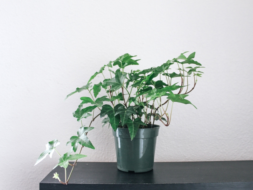 eco-friendly-houseplant-english-ivy