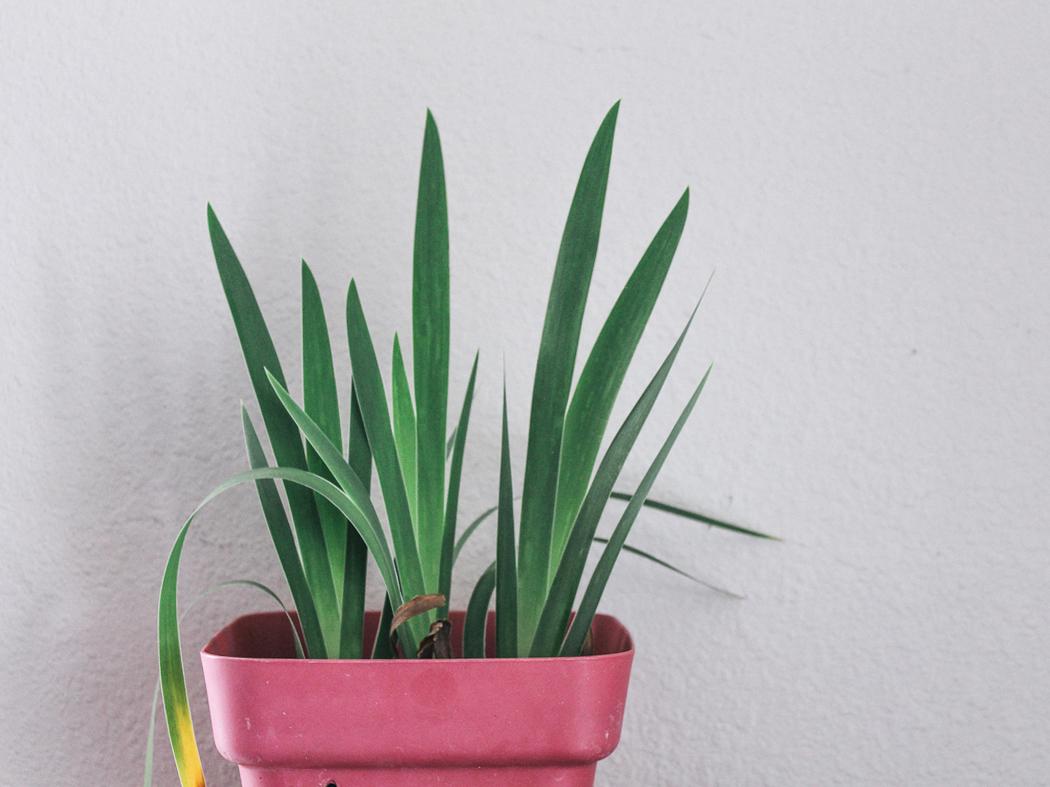 eco-friendly-houseplant-spider-plant