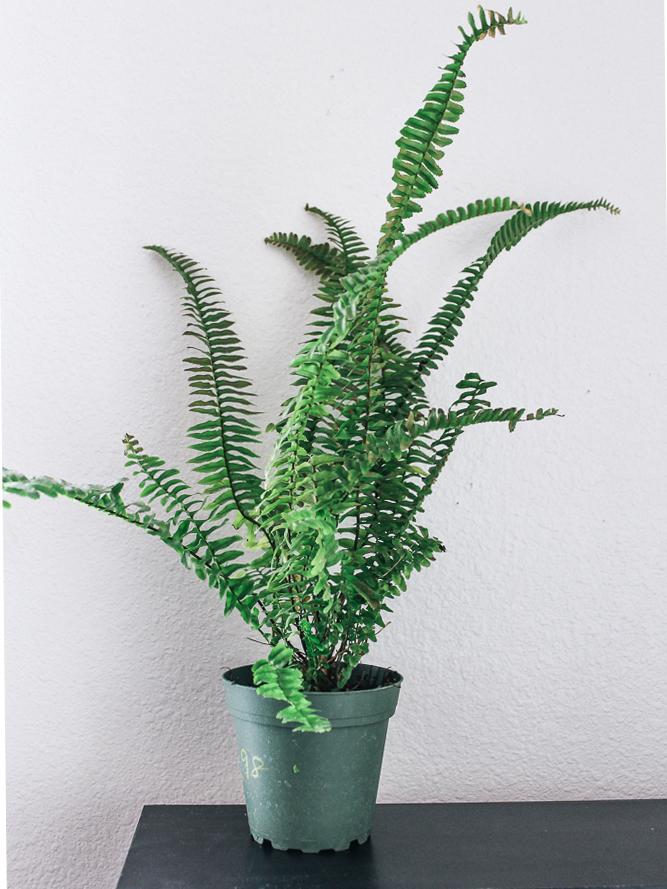 eco-friendly-houseplant-boston-fern