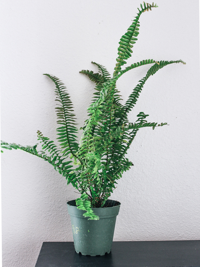 eco-friendly-houseplant-boston-fern