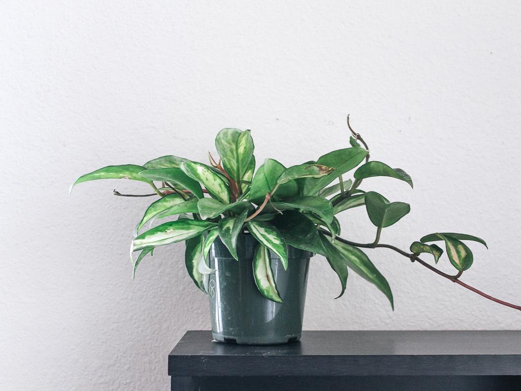 eco-friendly-houseplant-hoya-carnosa