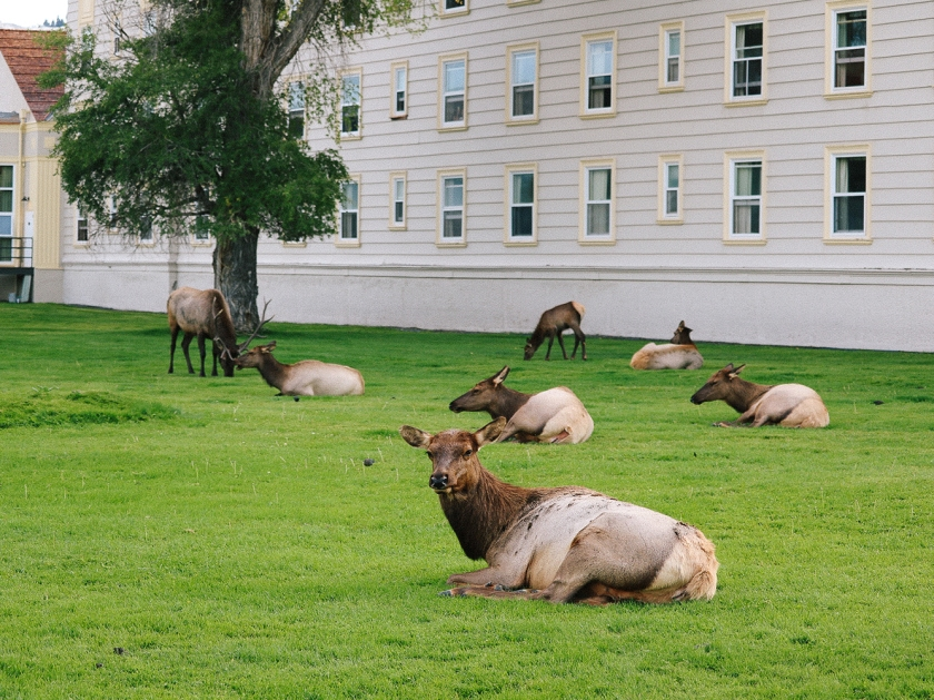 Elk in Mammoth Hot Springs